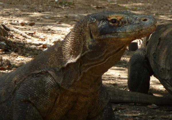 Komodo Dragons1