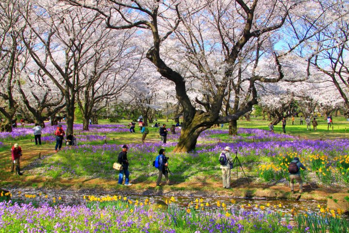 昭和記念公園櫻花園