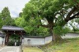 青蓮院楠木