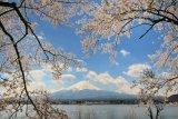 樱花。富士
