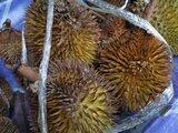 Dalit wild durians 山榴莲