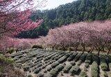 武陵-茶園步道 茶樹們