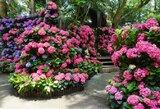 花露農場 繡球花牆